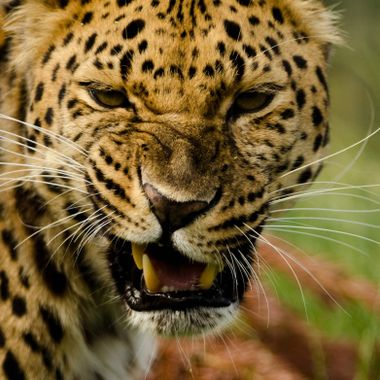 An amur Leopard is not impressed with the attention.!