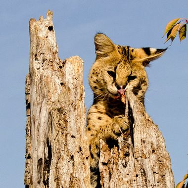 A serval caught sniffing out a tasty morsel
