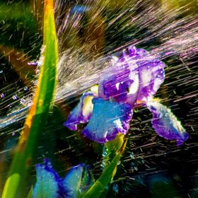 iris flower blasted by a jet of water