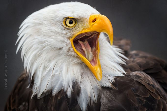 screaming by CreativeArtView - Majestic Eagles Photo Contest