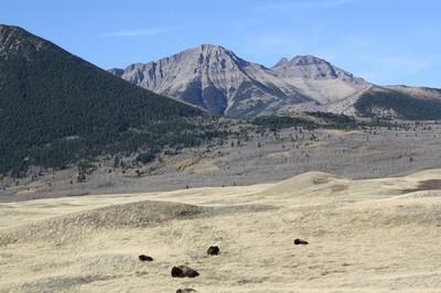 Buffalo in the Wild 4