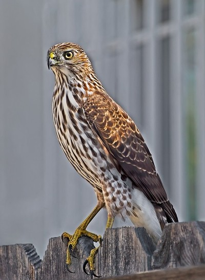hawk standing on a fence in my front yard.
