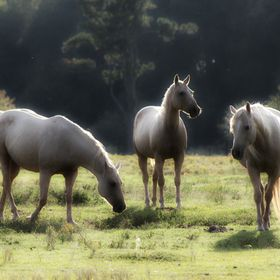I pass this field with these beautiful horses.