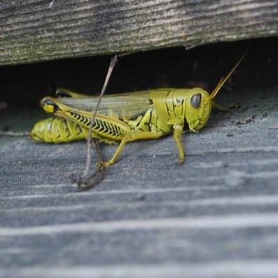 Frank The Grasshopper