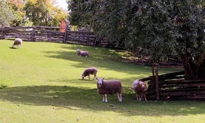 Sheepin'...