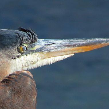 Blue Heron Close up