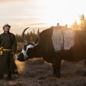 When the ox in this picture and a horse disappeared from the Tsaatan campsite in East Taiga region, the guide, Lkhagvasuren Battur (59), jumped o...