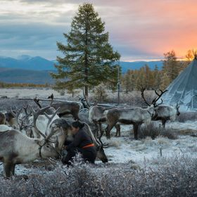 During sunrise domesticated reindeer wait at a Tsaatan campsite before being taken to a nearby forest to forage for food .