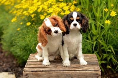 Cavalier cuties