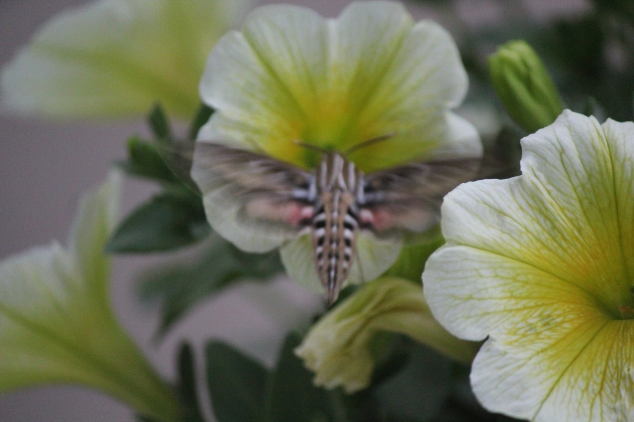 Is it a hummingbird, no it is a Sphinx Moth