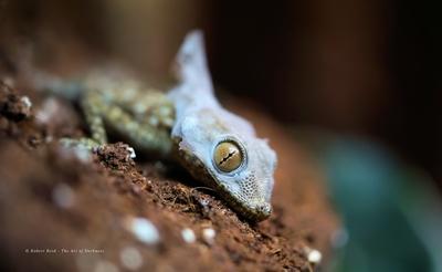 Fan Footed Gecko - Shedding