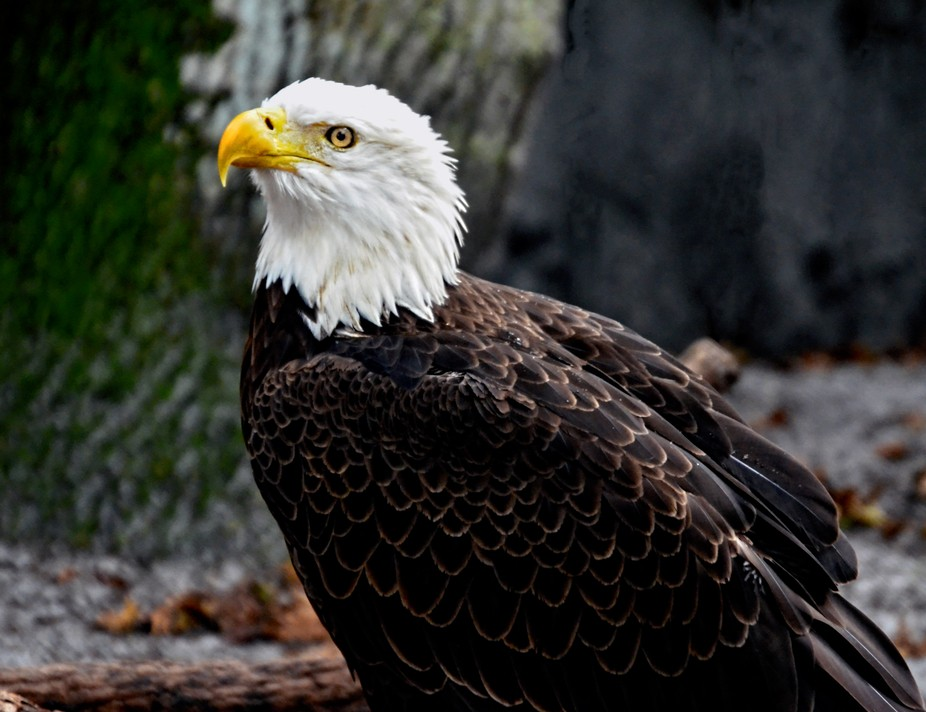 Bald Eagle close up and personal