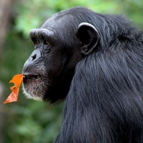 Went to the zoo for the first time in a LONG time the other day.  This chimp kept putting leaves in its mouth, turning and looking at us, then lo...