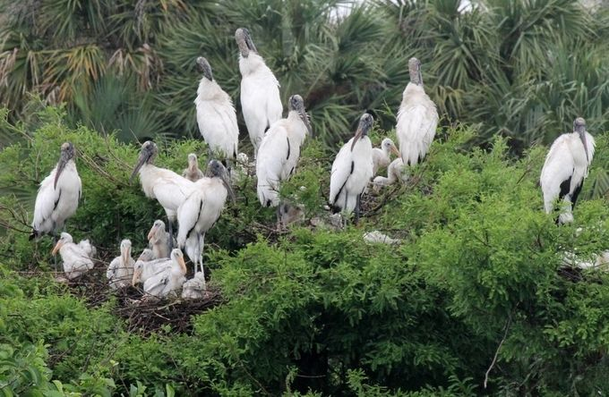 A group of Wood Storks is known as a Muster.