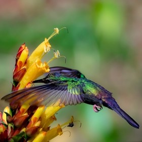 A hummingbird's bright, colourful feathers illuminated by the sun as it feeds from a flower.