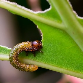 A tiny caterpillar chowing down on some leaf.
