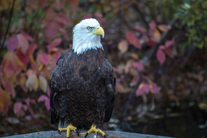 Eagle by Eboyce - Majestic Eagles Photo Contest