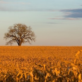 Sunset on a lone tree in a corn field on the drive home.