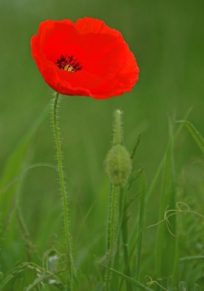 Poppy Painted by the Light