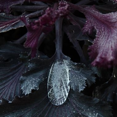 A large drop of ice on a frosty kale plant.