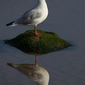 A gull and its reflection.