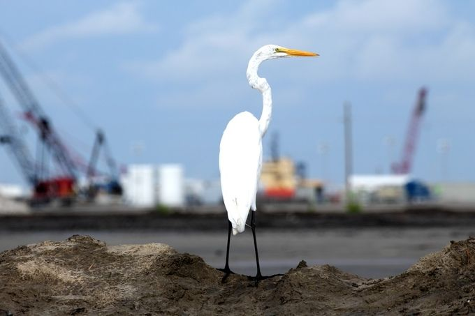 This Great Egret is looking out at what once was a beautiful marsh. Expansion of the port has destroyed it and continues its intrusion. This egret may have been coming back to this spot for years as may have previous generations. Cannot help but wonder was he is thinking.