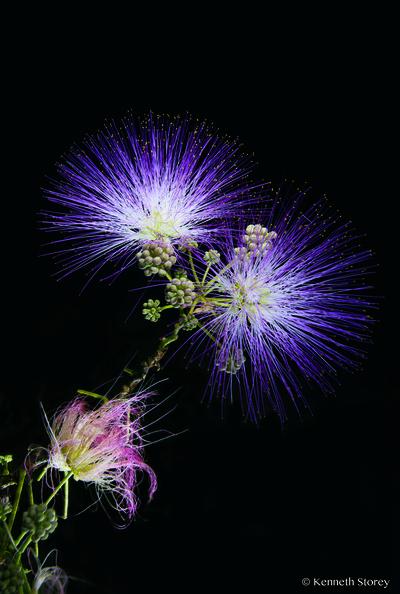 Mimosa flower3