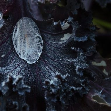 A large drop of frozen water on a frosty kale leaf.