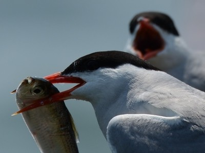 Common Tern Fish 001 DSC_3322