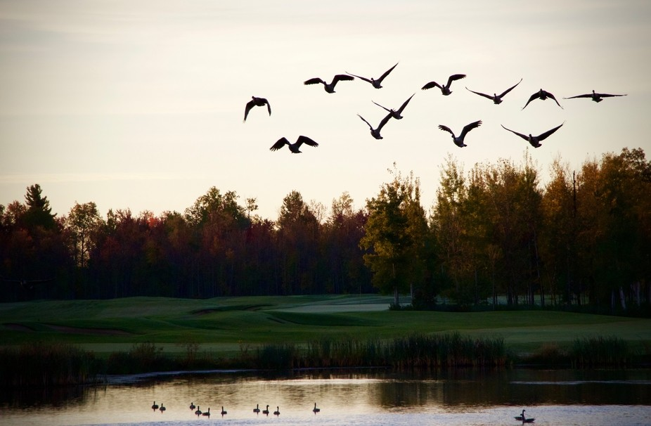 Geese over golf pond