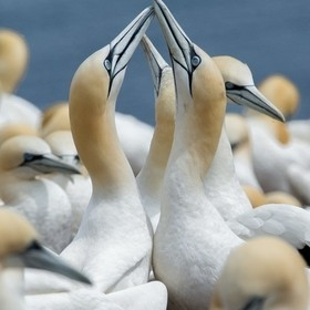 Northern gannets socializing on Bonaventure Island in the Gaspe Peninsula, Quebec.