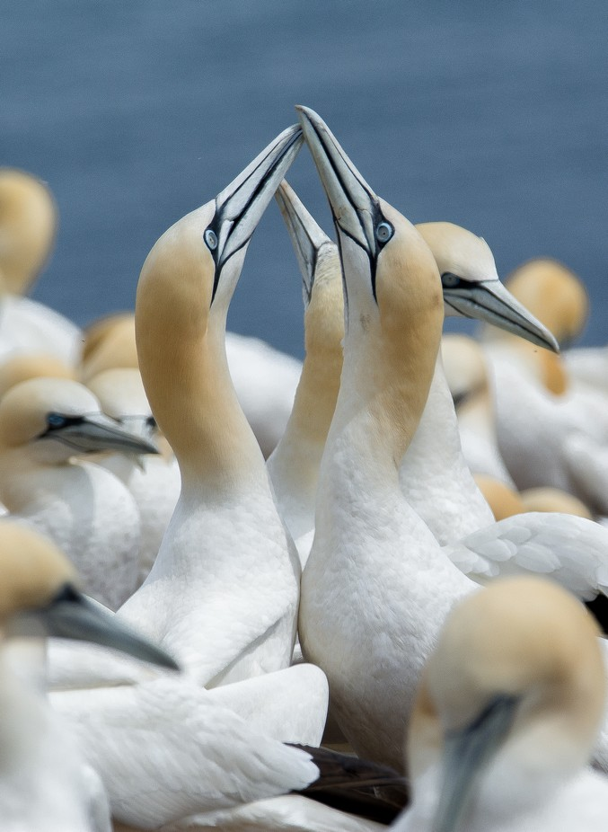 Northern Gannets by JohnStager - Monthly Pro Vol 17 Photo Contest