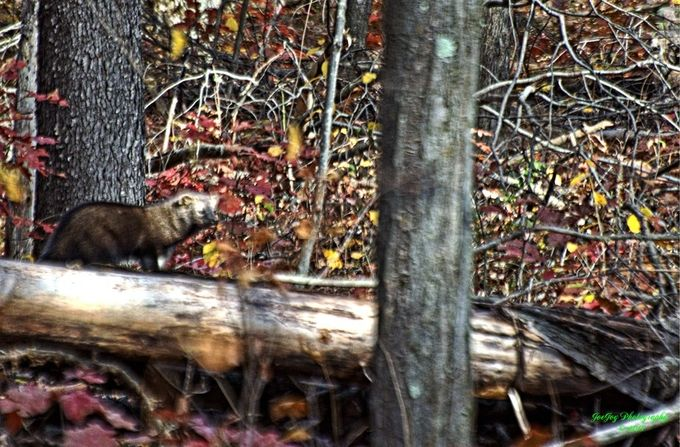Taken with Nikon D5100 using AF-S Nikkor 70-300mm 1:4.5-5.6 G lens.  This shot is slightly out of focus but the fisher cat is a very elusive animal.  I had been seeing signs of them for a couple years but only catching occasional glimpses.  Even in this case it was moving too much to be able to get good focus.