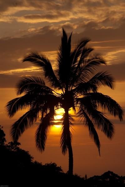 sunset coconut tree