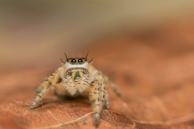Phidippus otiosus by garygregory - Small Things In Nature Photo Contest