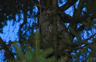 my backyard owl 06