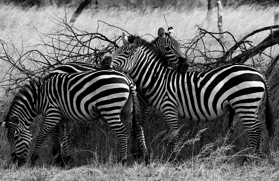 a group of zebras huddle together in the Serengeti, National Park, Tanzania