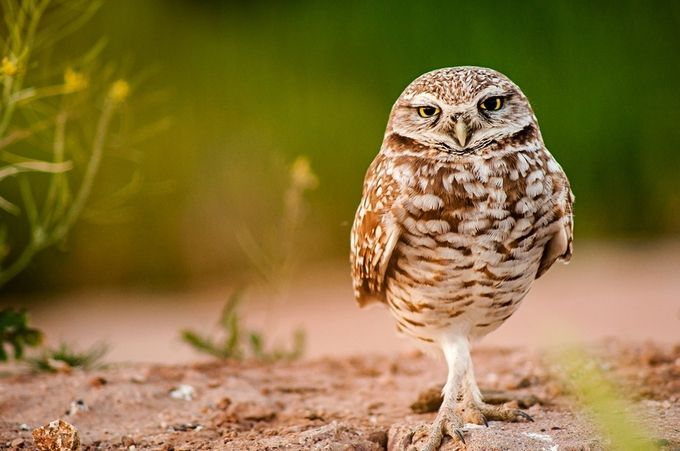 Burrowing Owl by MDM24 - Rule Of Thirds Photo Contest v3