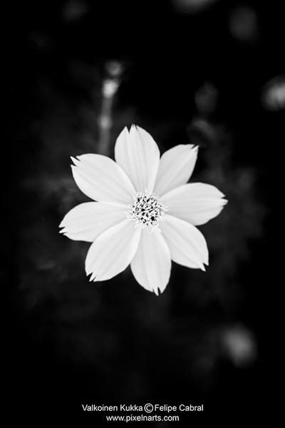 Valkoinen Kukka