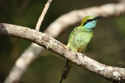 Green Bee Eater on a branch