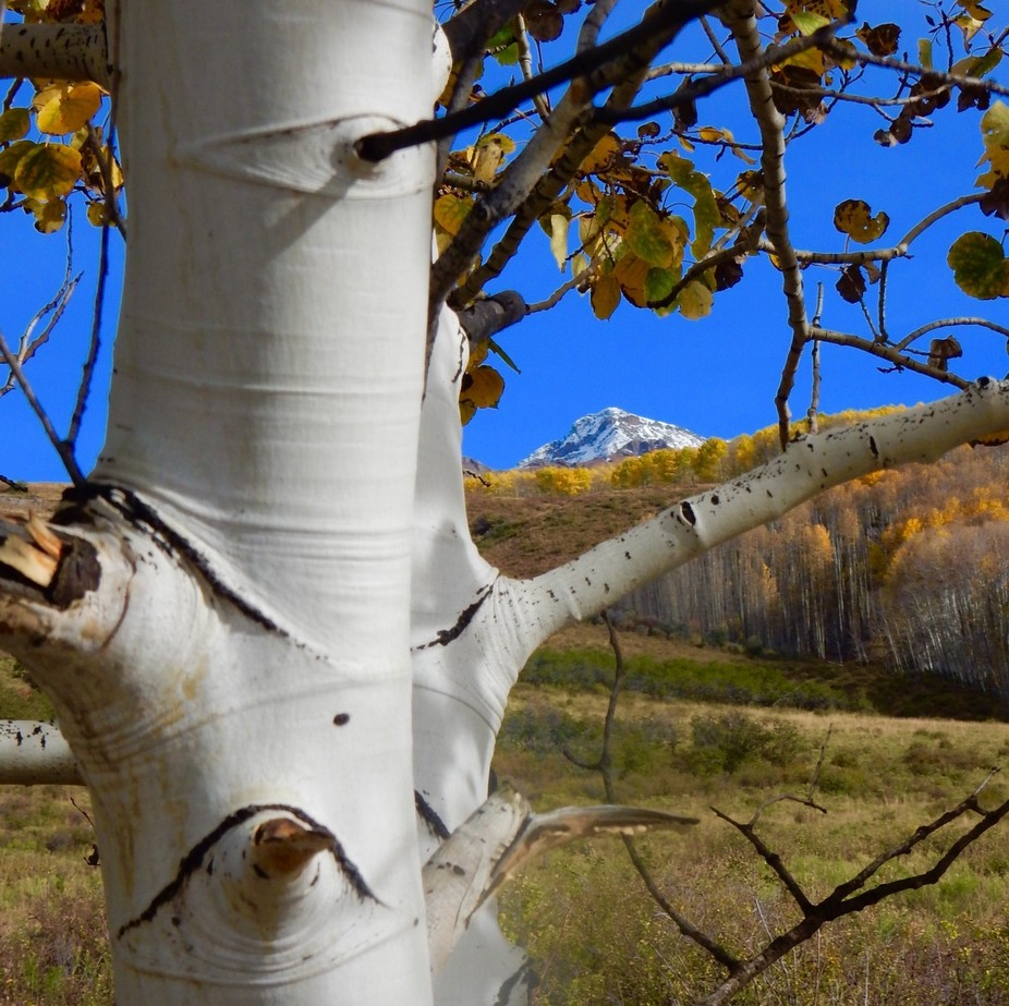 This aspen begged for a close up which was the perfect frame for the snowy mountains beyond.