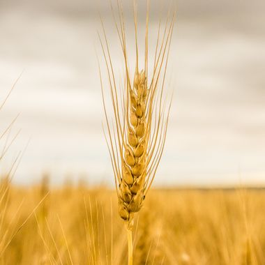 Wheat is ripened...a single stock anoints the golden field and darkened sky.