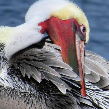Monteray Bay Pelican