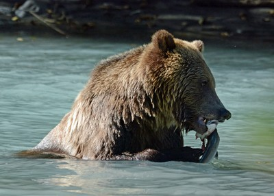 grizzly and salmon