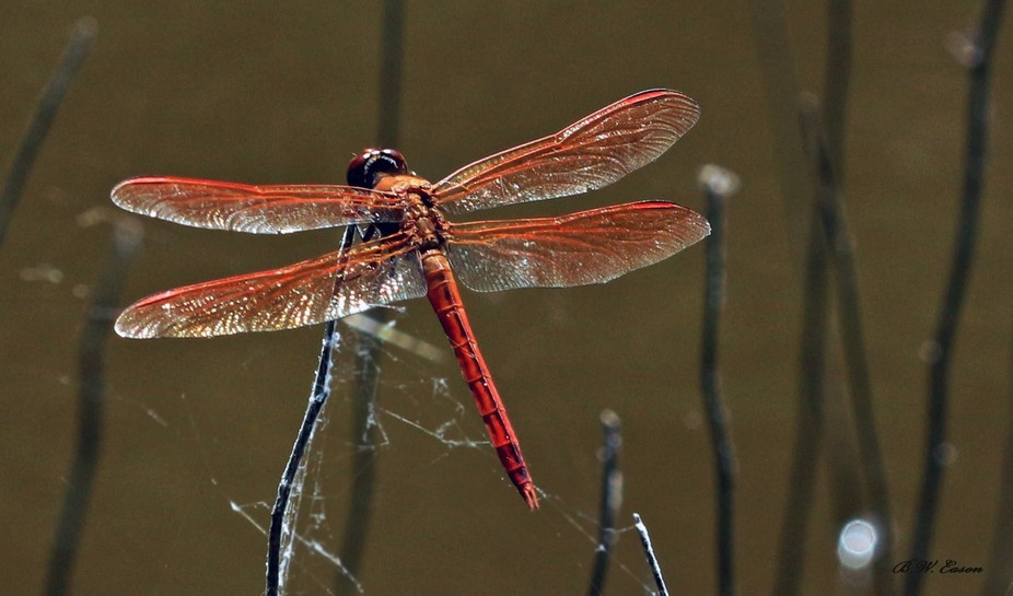 always trying to find one of the red dragonflies..