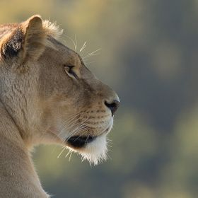 Lioness in the twilight staring into the distance