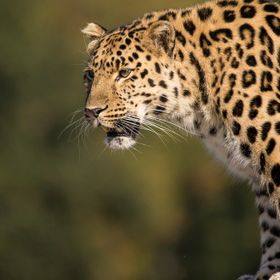beautiful image of an amur leopard ready to pounce.