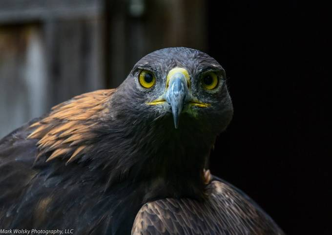 Golden Eagle Transfixed by MWPhotography2 - Majestic Eagles Photo Contest