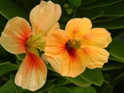 Pale orange petunia