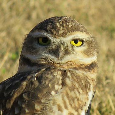 Argentina Owl Close up